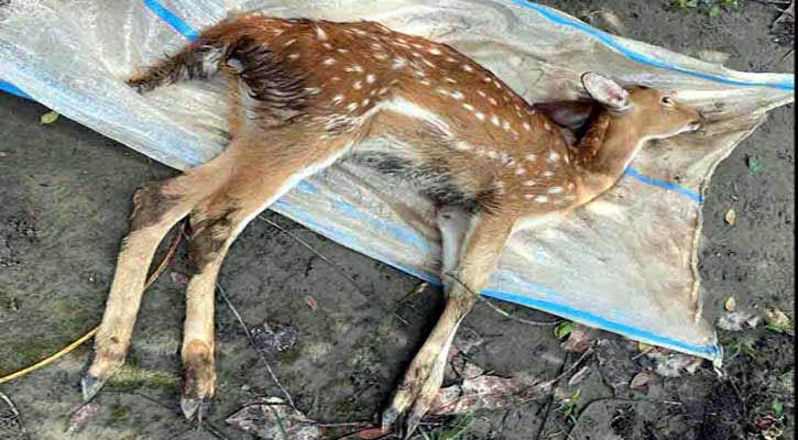 Deer-Dead